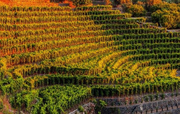 Vigneto terrazzato di Piedimonte Etneo