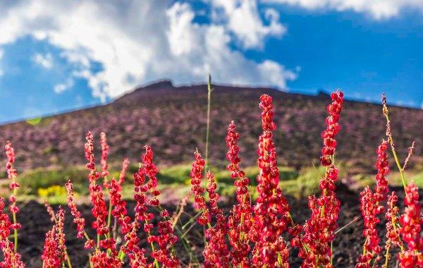 Rumex Aetnensis in fiore sui crateri Silvestri