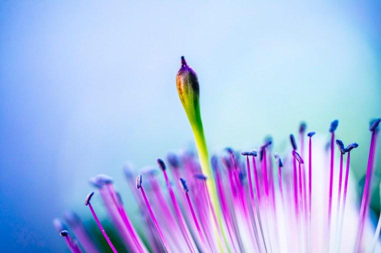 fiore del cappero e cucuncio