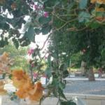0_36 CapernaumFlowers 3