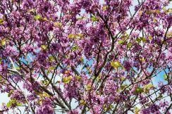 Cercis_siliquastrum_-_Erguvan_-_Judas_tree_03