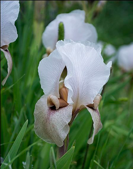 Iris-lortetii-71-Zachi-Evenor.jpg
