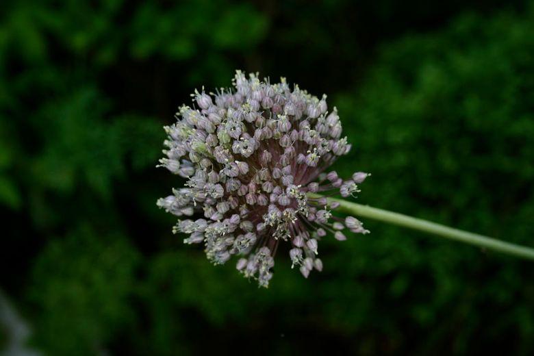 1024px-Allium_ampeloprasum_8701