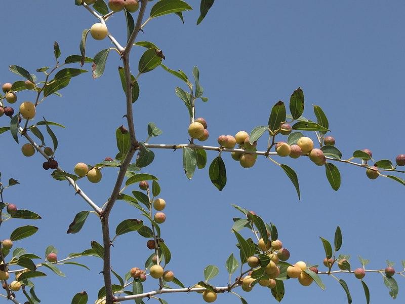 800px-Christ's_thorn_jujube_tree