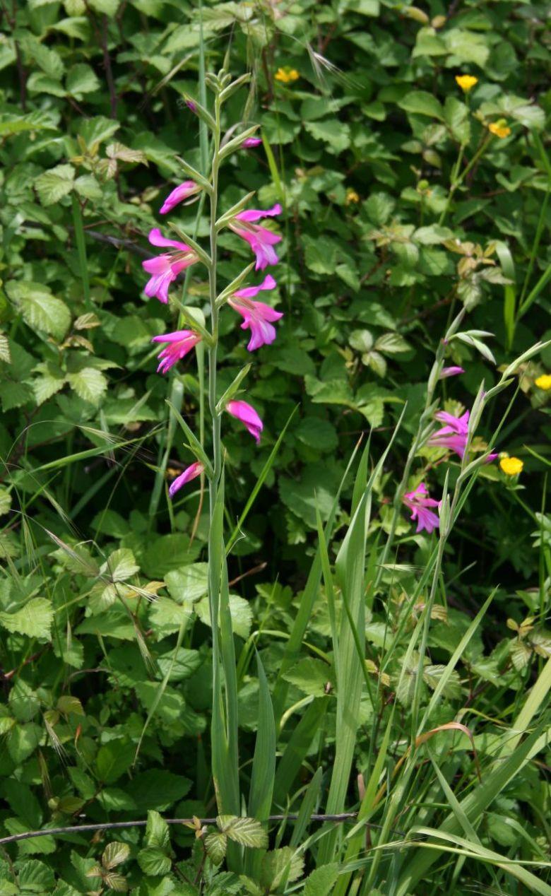 Gladiolus_italicus_1.jpg