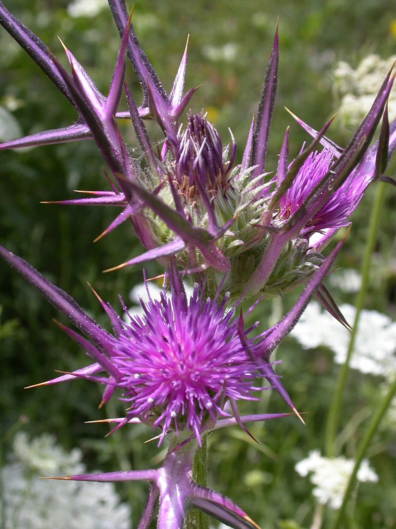 PikiWiki_Israel_4619_Syrian_Thistle