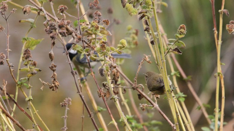 Common_Chiffchaff_and_Great_Tit,_Israel_(15662685508)