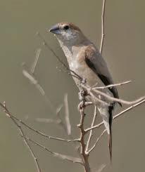 Indian Silverbill 4