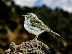 Long-billed Pipit 3