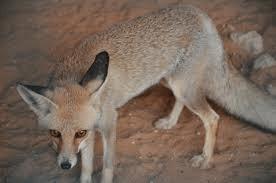 Sand Fox 4