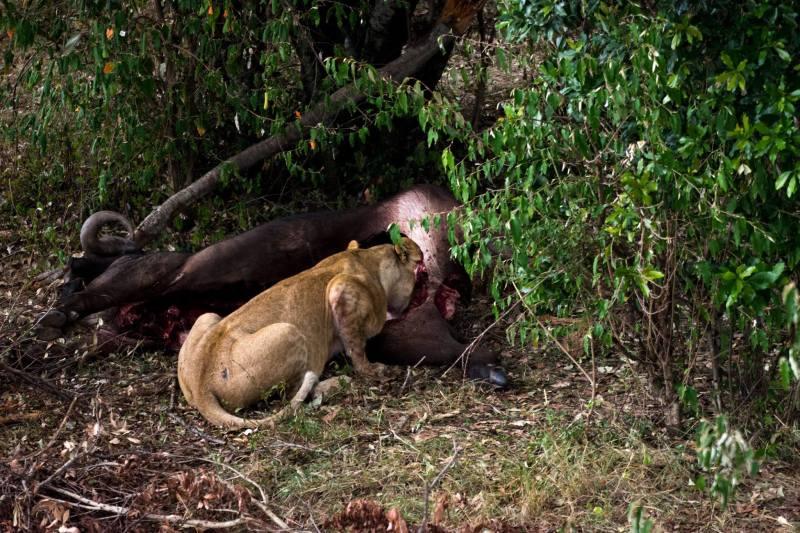 Вечерята на лъвовете в Масай Мара, Кения
