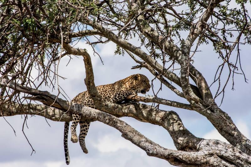 Леопард - Масай Мара, Кения