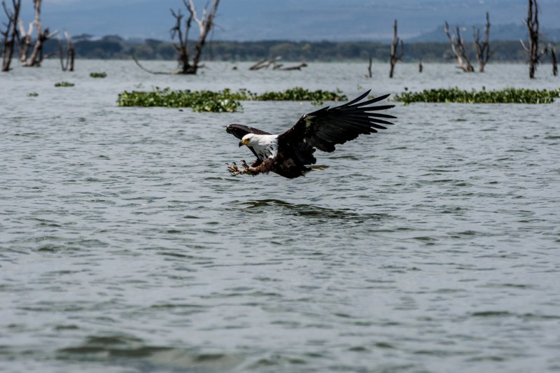 Орел на езерото Найваша, Кения