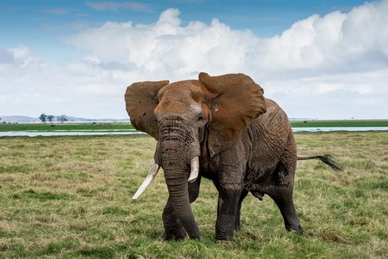 Слонът, който реши да ни нападне - Амбосели, Кения