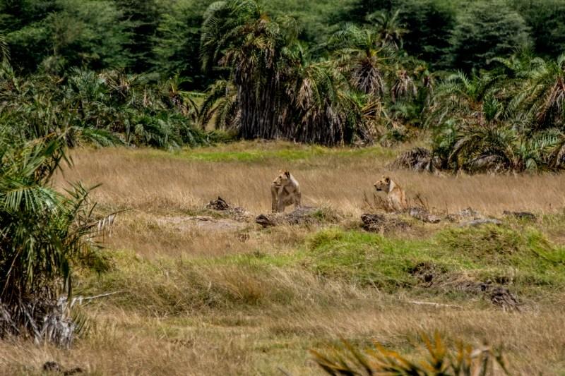 Лъвове в парк Амбосели, Кения