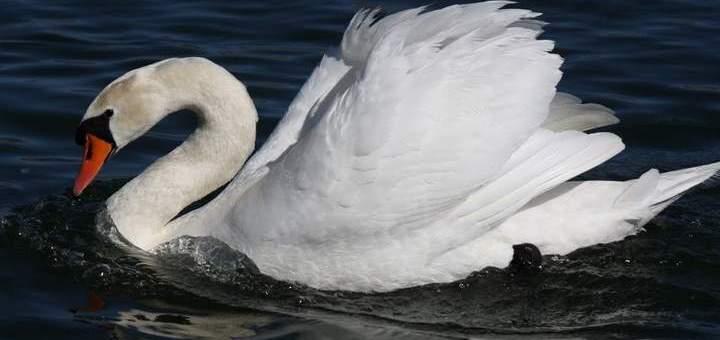 γρίπη των πτηνών κρούσμα σε κύκνο στο νοµό Έβρου