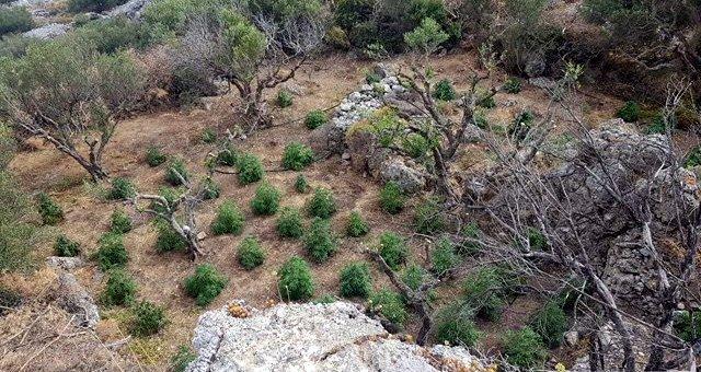 Συλλήψεις για φυτεία κάνναβης στην Ιεράπετρα