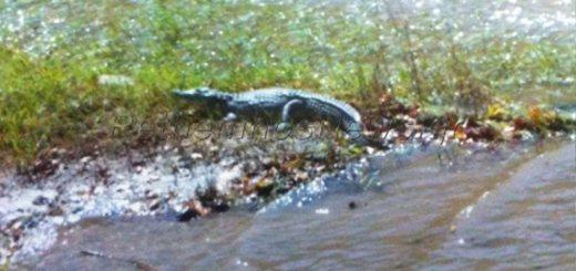 Σήφης ... ο κροκόδειλος στο φράγμα Ποταμών Ρεθύμνου