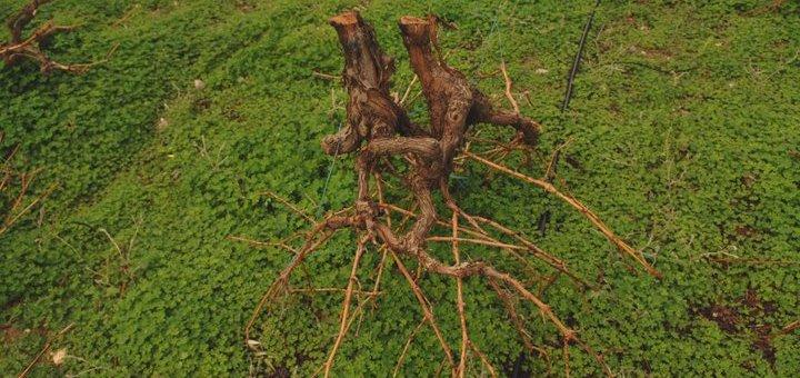 Καταστροφή αμπελώνα και οπωρώνα για εκδίκηση στο Καβούσι