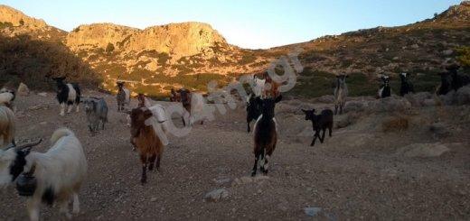 Έκτακτη κρατική ενίσχυση για τους κτηνοτρόφους του Ηρακλείου και Λασιθίου