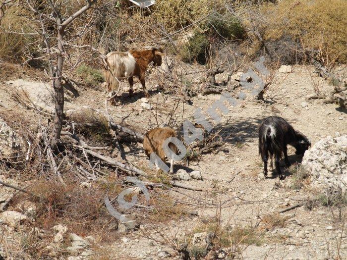 οι κατσίκες αποτελειώνουν ότι έχει μείνια απ' τ' αμπέλι