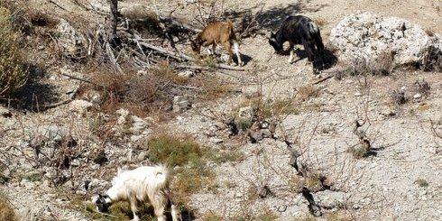 κατσίκες σε αμπέλι