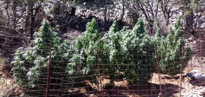 Σύλληψη για καλλιέργεια δενδρυλλίων κάνναβης