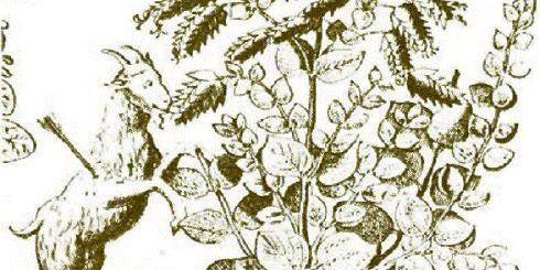 στη γκραβούρα εικονίζεται κατσίκα πληγωμένη απο κυνηγό, η οποία μασάει δίκταμο και στη συνέχεια γλύφει τη πληγή για να τη θεραπεύσει