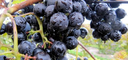 Ηγουμενίδης, άμεση αποζημίωση των πληγέντων αμπελοκαλλιεργητών