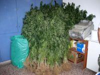 φυτά μετά την εκρίζωση απο τη χασισοφυτεία