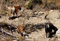θρυπτή κατσίκες