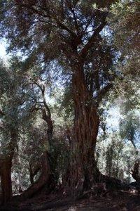 Ολόκληρα δάση με υπεραιωνόβια ελαιόδεντρα εντοπίζουν οι πολιτιστικοί σύλλογοι και οι επιστήμονες του ΤΕΙ