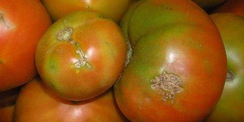 ντομάτες χτυπημένες από το έντομο
