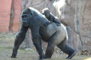 Gorillas at OKC Zoo