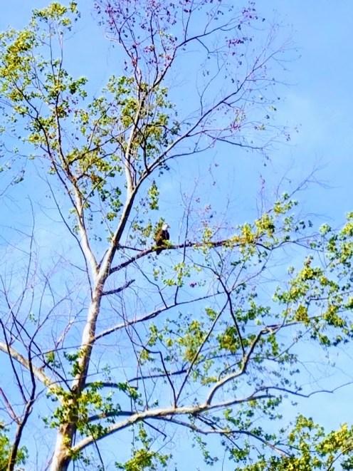 Bald eagle in Tahlequah