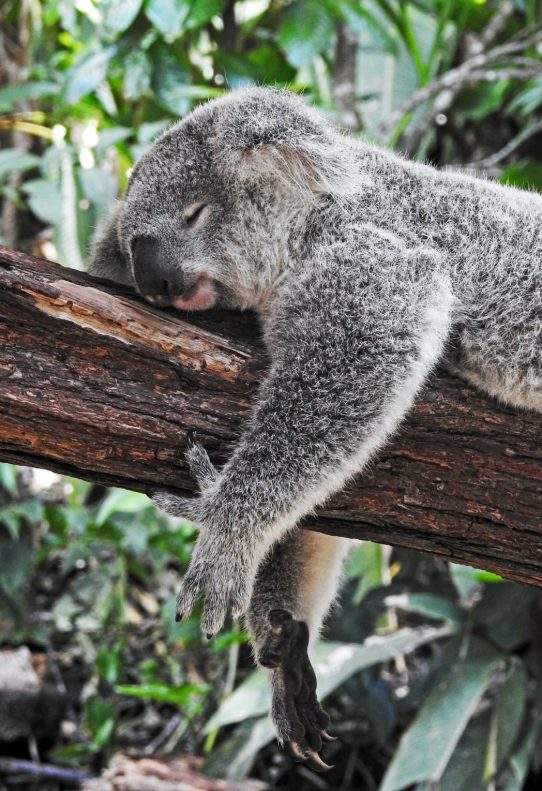 koala bear sleeping on a branch