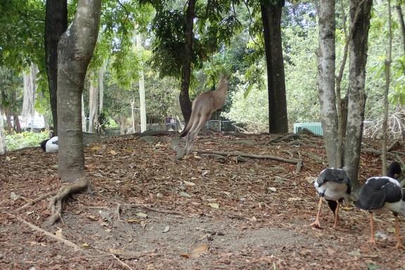 Kangourou en plein action...