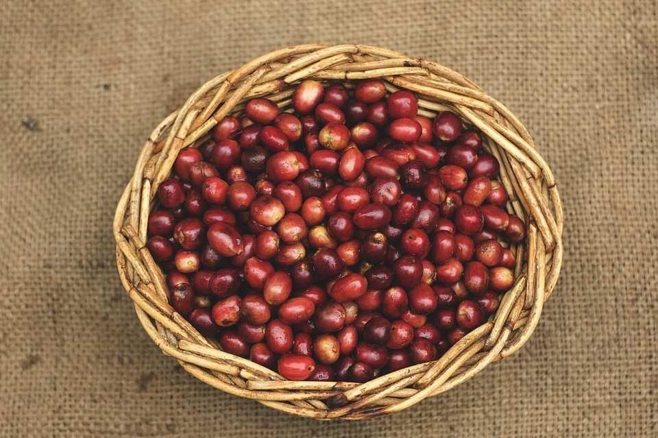 kırmızı, olgunlaşmış kahve meyveleri