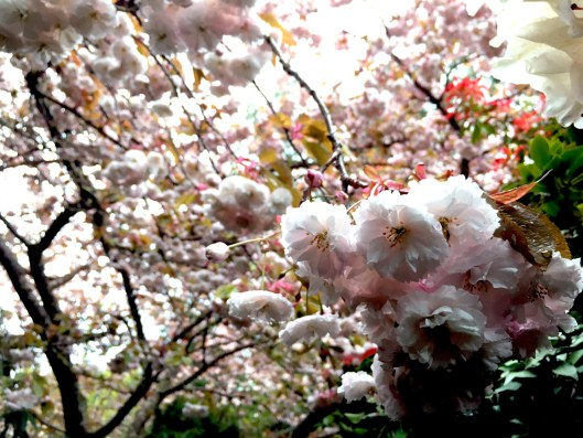 PS_cherry blossoms.jpg