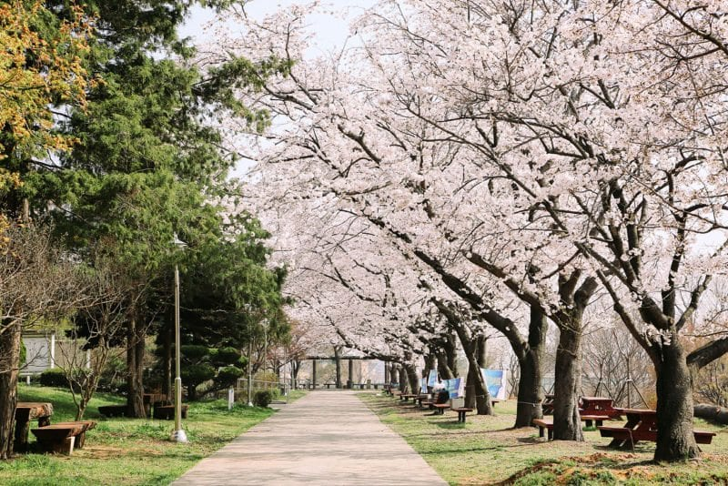 cherry blossom origins japan