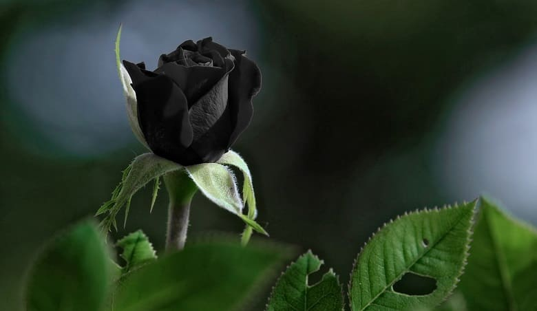 Everything you Need to know about Black Roses