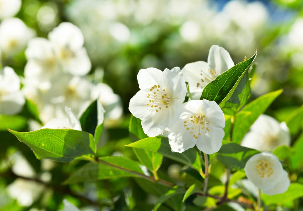 Most Fragrant Flowers: jasmine flower