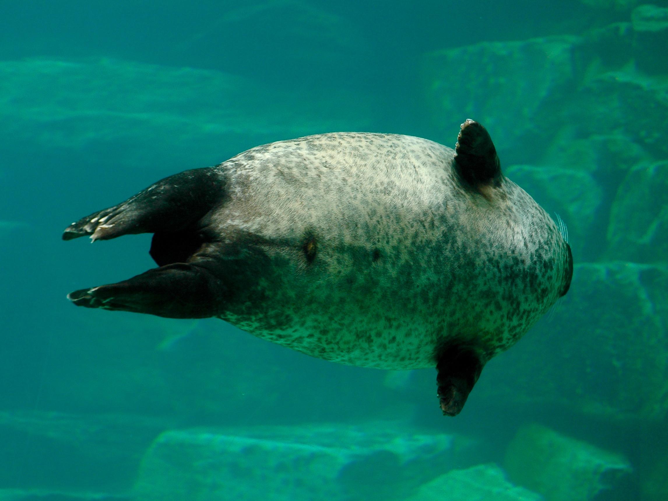 Photo Branféré phoque mâle