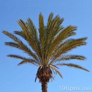 Orta yükseklikteki palmiye ağacı