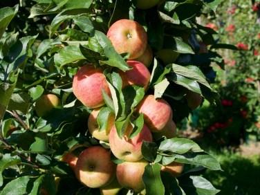 Appels plukken (1 van 4)