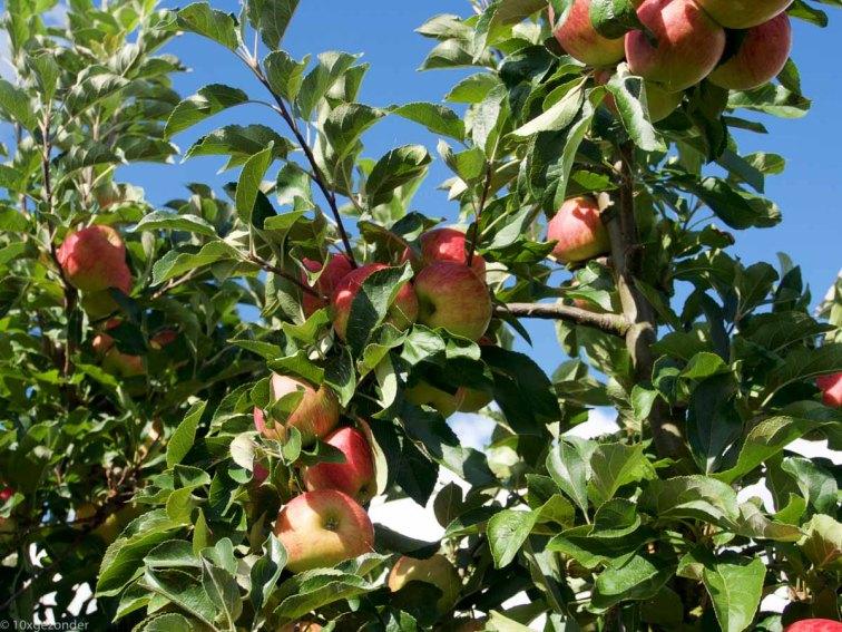 Appels plukken (2 van 4)