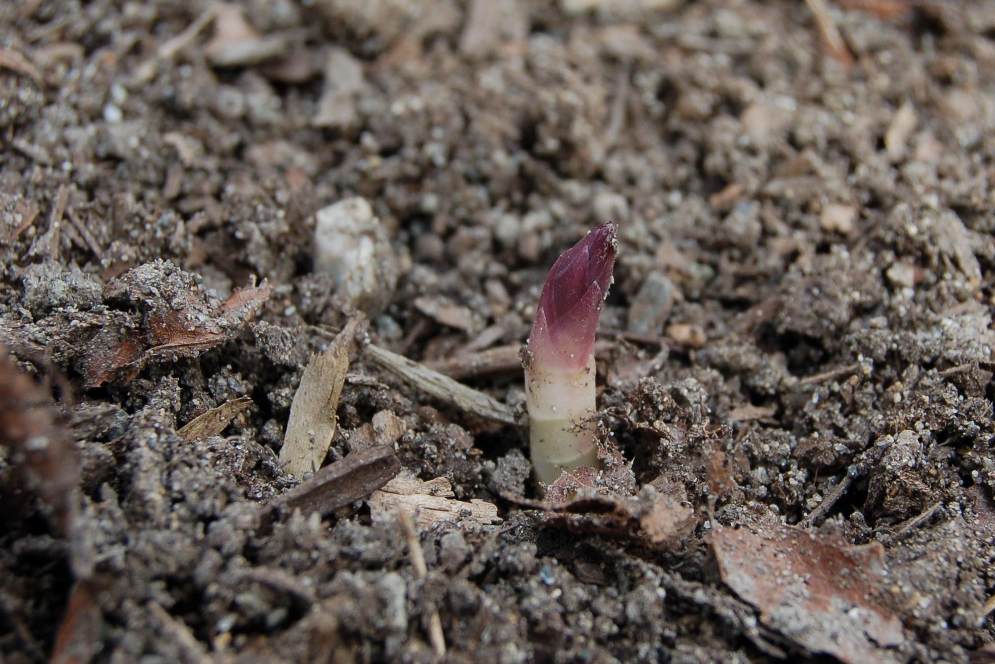 First asparagus spear