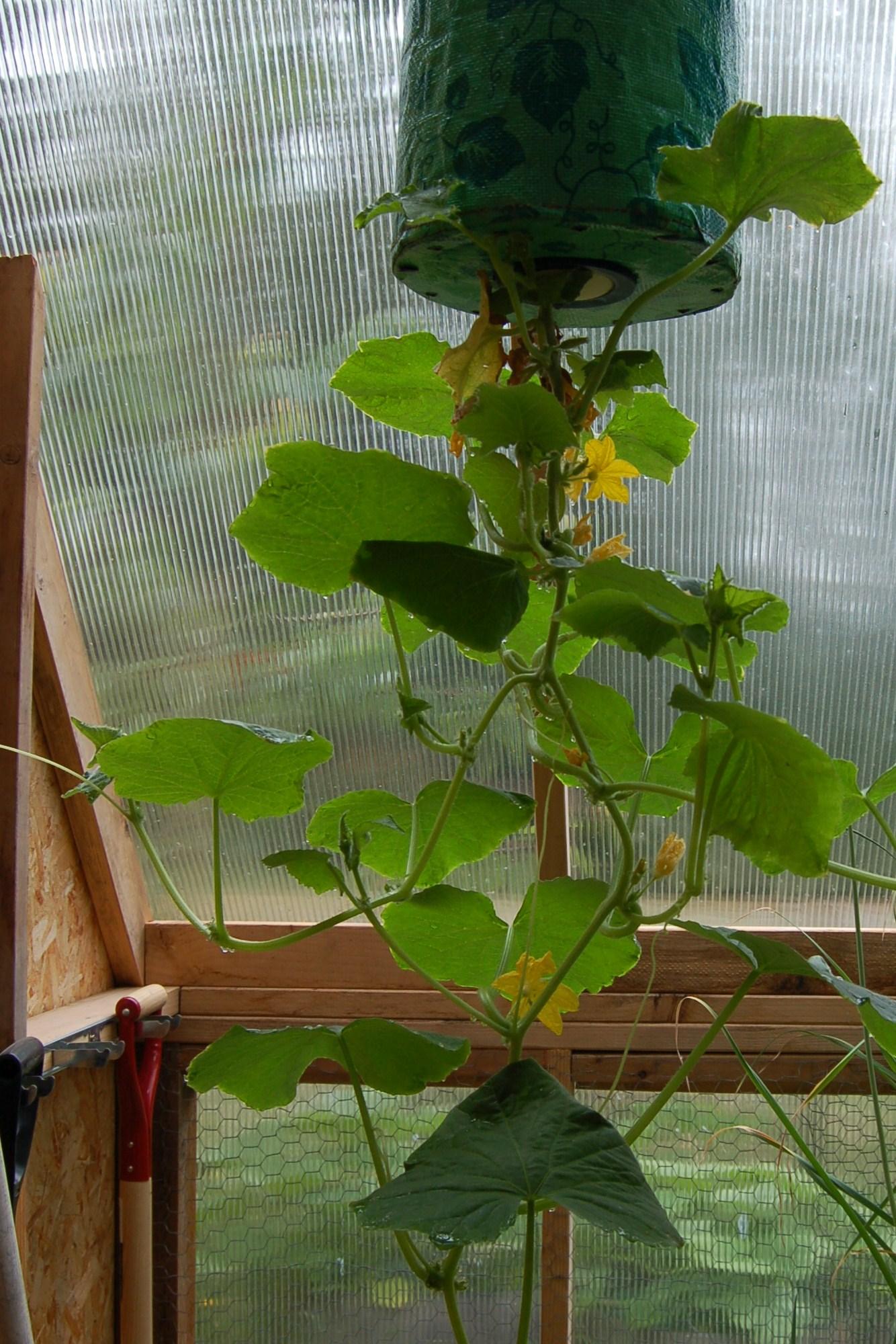 Hanging lemon cucumber plant
