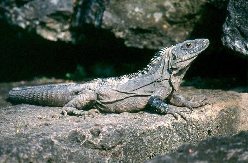 刺尾鬣蜥Ctenosaura similis-鯋羅樹 - 精靈樂章-搜狐博客