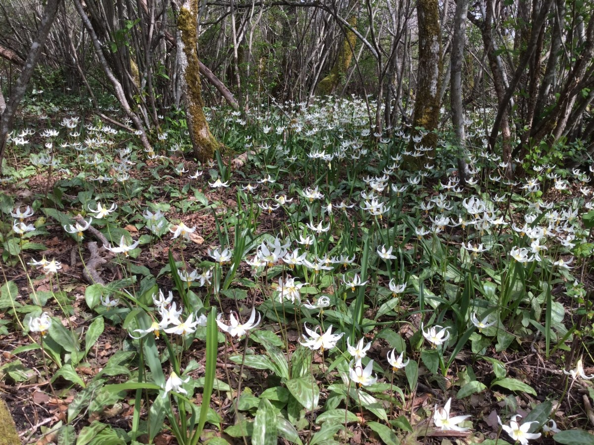 2017-4-21: Julie Smith captures Easter Fawn Lilies